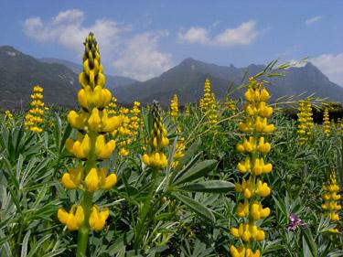 モッチョム岳をバックに満開のルピナスの花