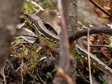 緑色のお腹をしたカナヘビの写真