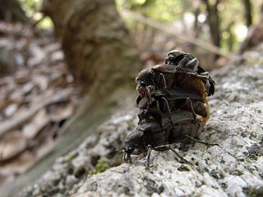 クチキクシヒゲムシの雄雌が4匹も重なり合っている写真