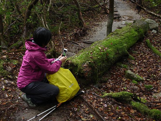 苔に覆われた倒木上に乗っているハイノキの花を撮る参加者Tさん
