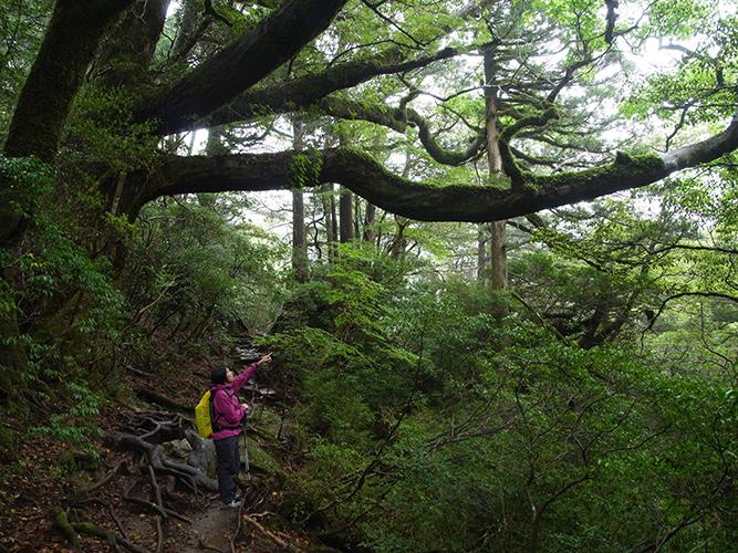 巨大なハリギリの枝に驚いてます