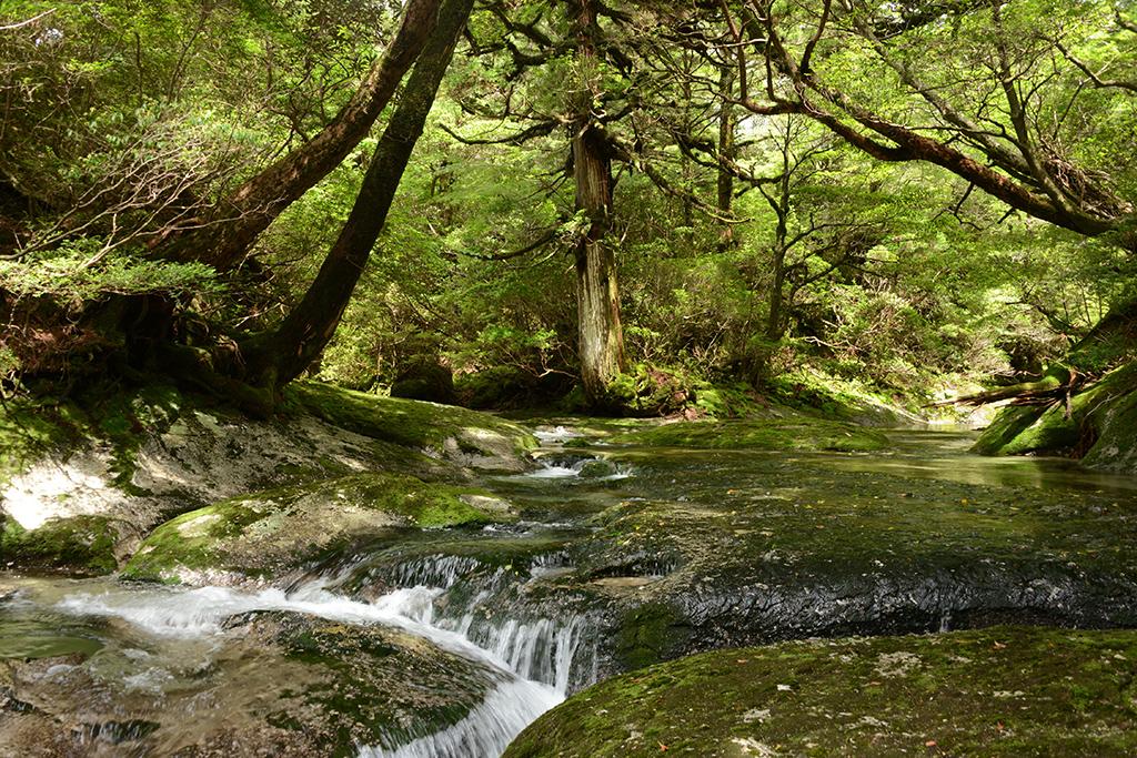 屋久島の沢登り、実は森の美しさもその大事な魅力なのです