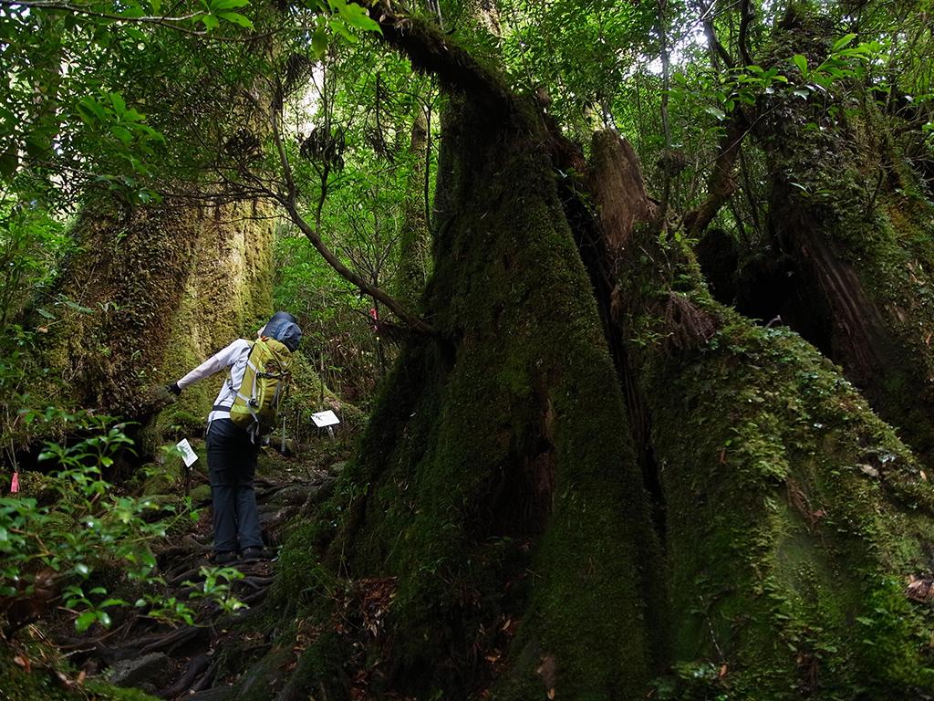 屋久杉の巨大な切り株に囲まれ、モミの大木を見上げる参加者が小人のように見える写真