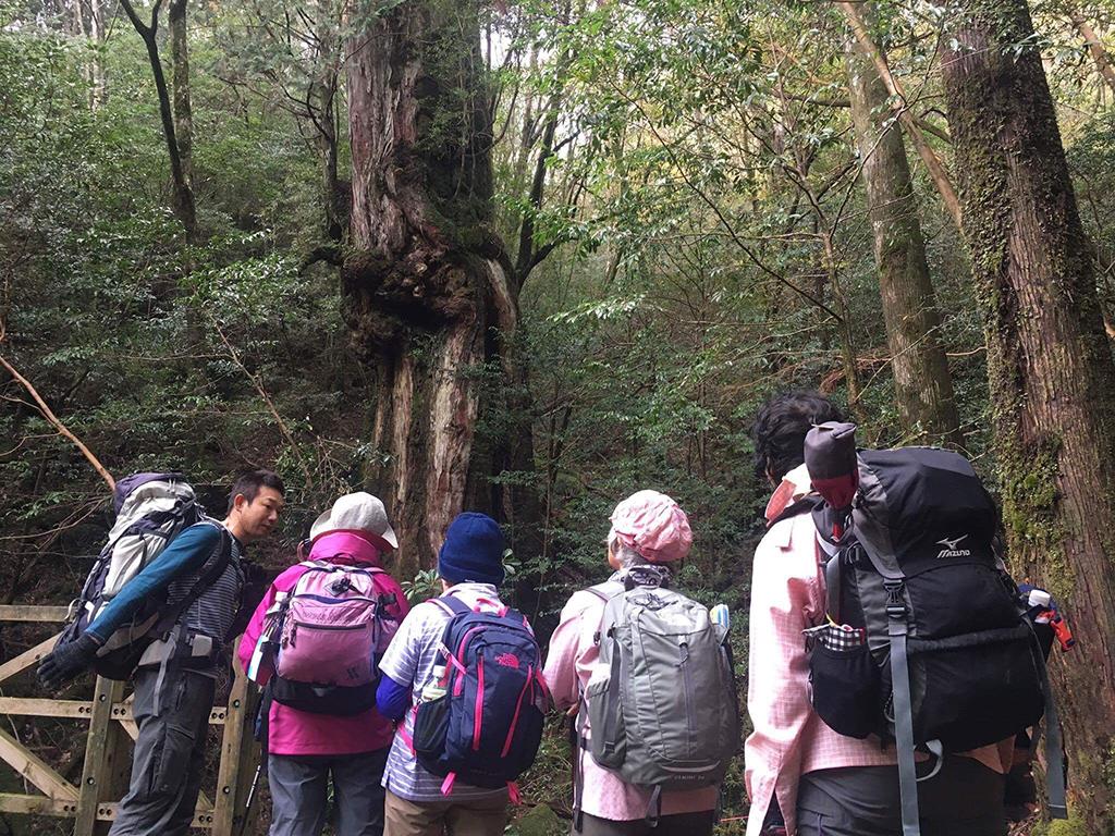 自然のポケット・会田が雑誌「ハルメク」企画の縄文杉ツアーに参加の皆さんを案内している写真(仁王杉前にて)。