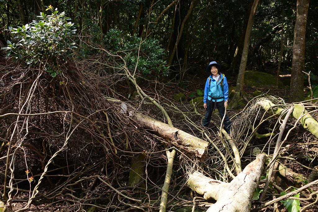 巨大なガジュマルの倒木に巻き込まれたベビースターラーメンのようなツルを前にほくそ笑む参加者の写真