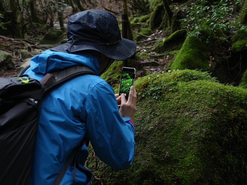 オオゴカヨウオウレンが咲き乱れていて写真を撮る参加者