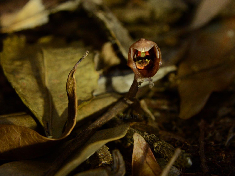 タブガワヤツシロランの花の部分をライトアップして、花弁などが分かり易く撮った写真