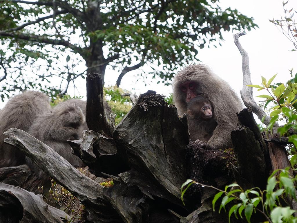 ヤクザルの群れが森に出来たギャップに集まり、この春に新たに生まれた子ザルがお母さんサルに穏やかに抱きついている写真