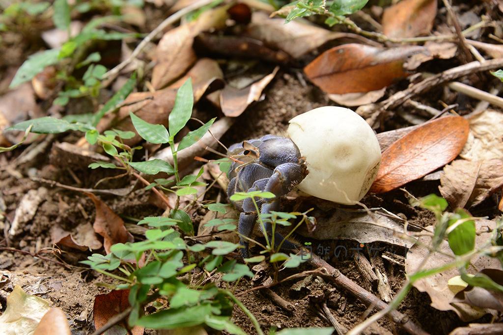 ウミガメの卵をお家にするムラサキオカヤドカリの写真