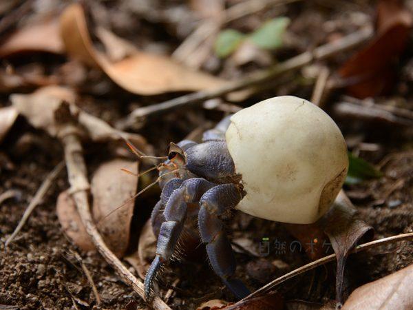 ムラサキオカヤドカリがウミガメの卵を新居にして歩いている写真