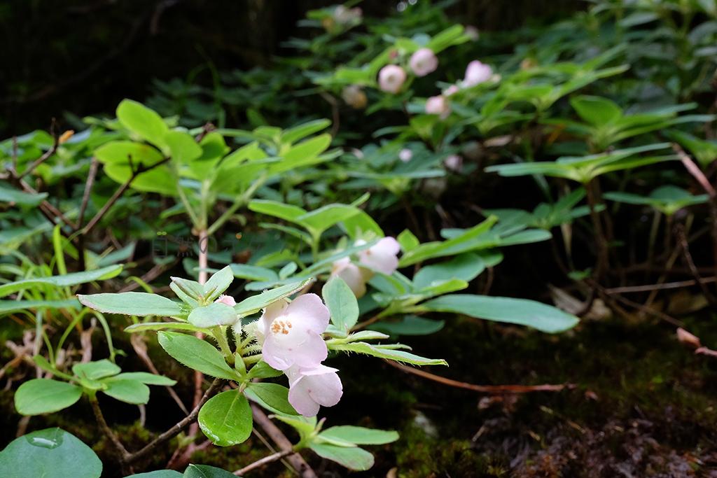 ヤクシマヨウラクツツジのアップ写真(ピンクの色とその佇まいが清楚)