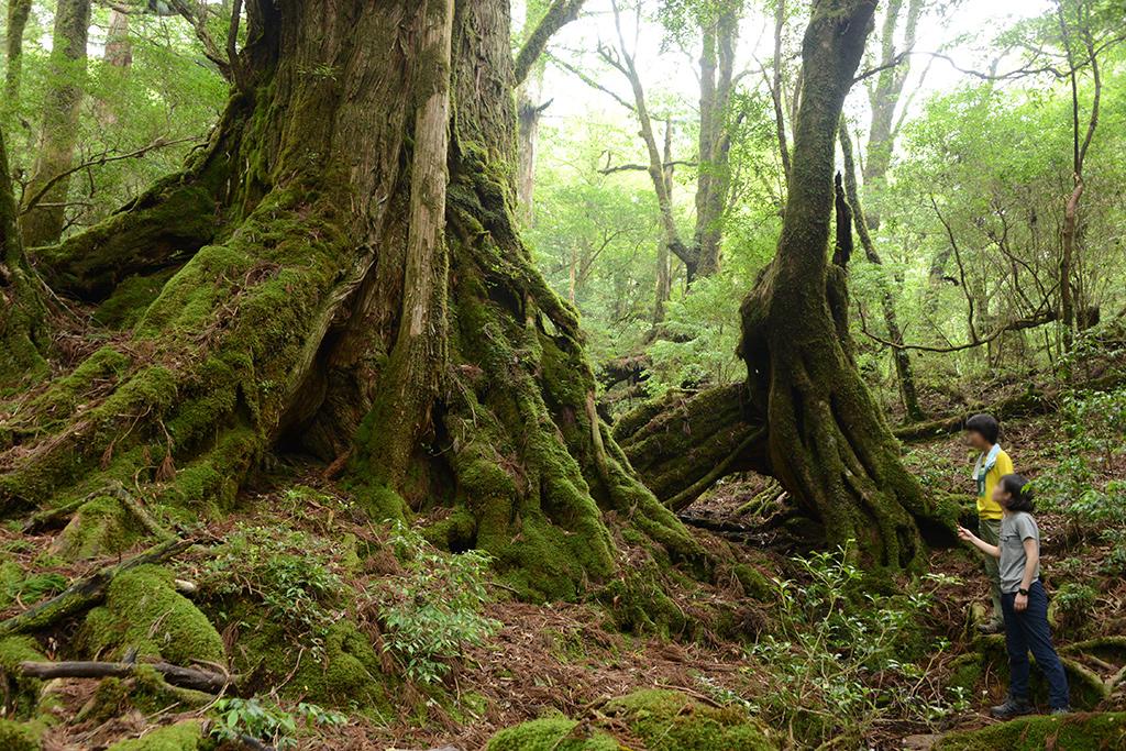 美穂野杉の背後に廻って、その巨木を見上げる二人の写真
