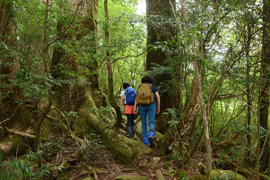 モミの大木二本が立ち並ぶ間を通り抜けようとしている参加者二人の後ろ姿写真