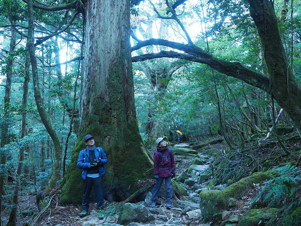 屋久杉をバックに、まだ光の当たらぬ蒼い光で覆われた森にて木々を見上げるお二人の写真
