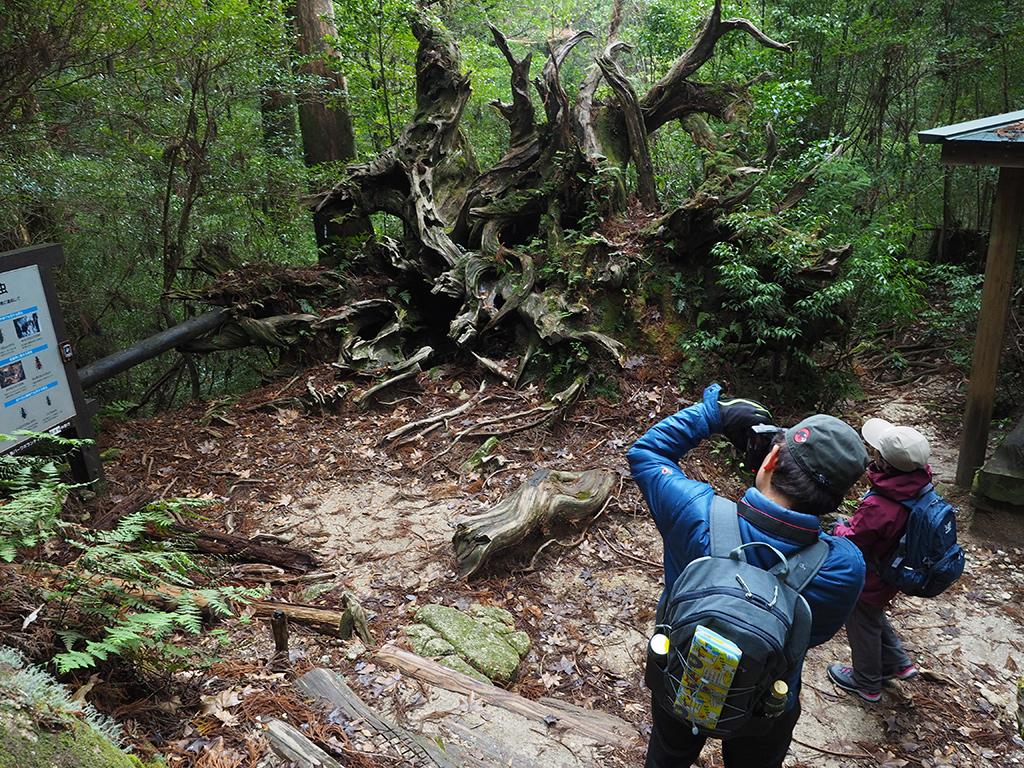 20年程前に倒れた蛇紋杉の芸術的な根回りを写真に納めようとしているMさんとKさん