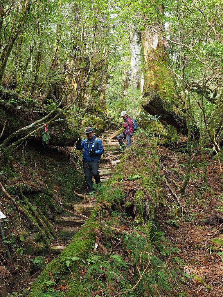 屋久杉の美林を抜けて下りてくるお二人の写真