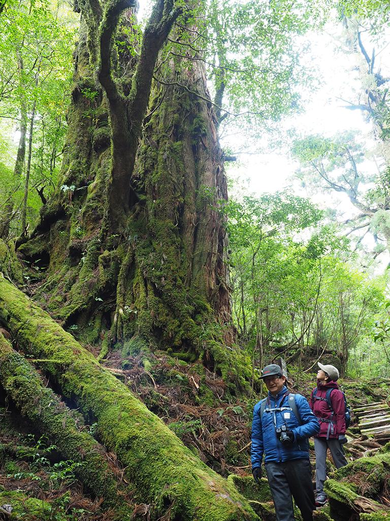 母子杉という巨大な屋久杉2本の横を笑顔で通り過ぎるお二人の写真
