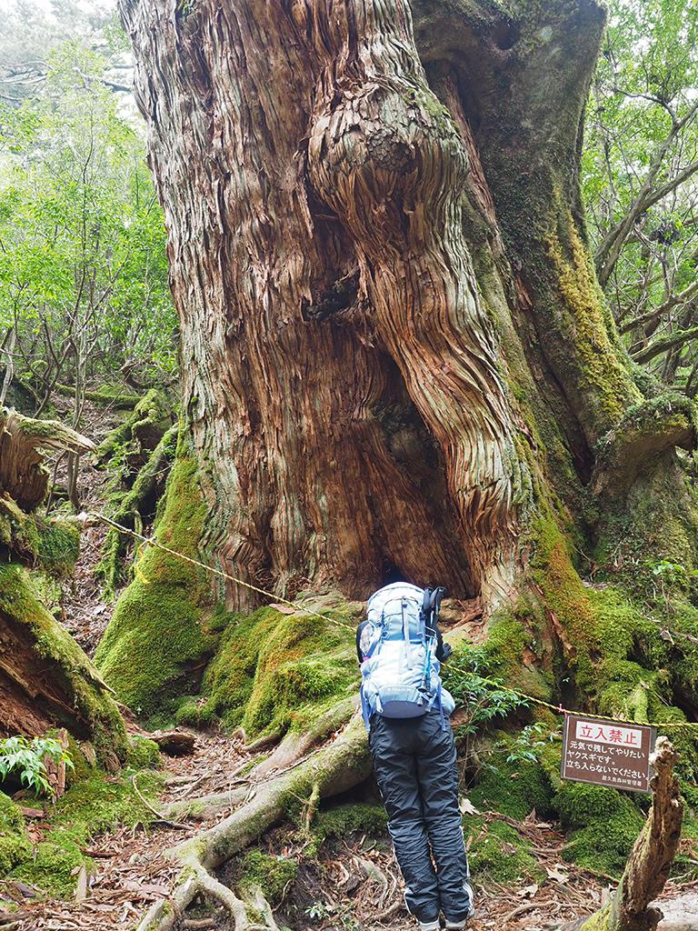 写真で見るのとでは余りにもその大きさが違い驚きを隠せないAさんが大和杉を見上げている写真