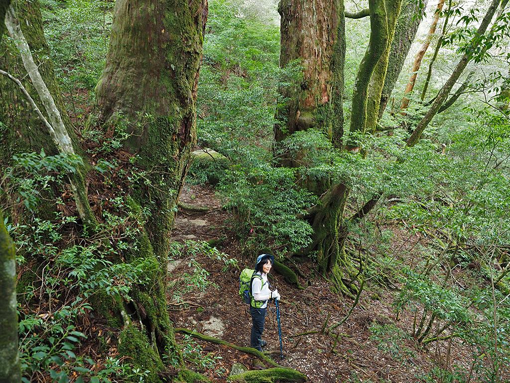 これぞ巨木の森といった写真