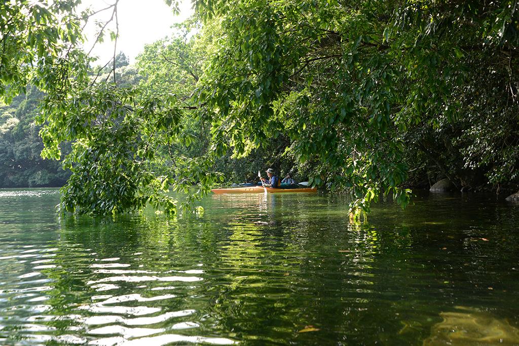アコウの枝葉が水面まで垂れ下がり、その奥にカヤックをする参加者二人が見え隠れする写真