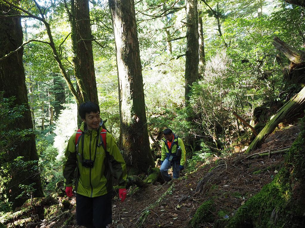 杉の巨木が立ち並ぶ森を歩いてくるTさんとOさん(後)
