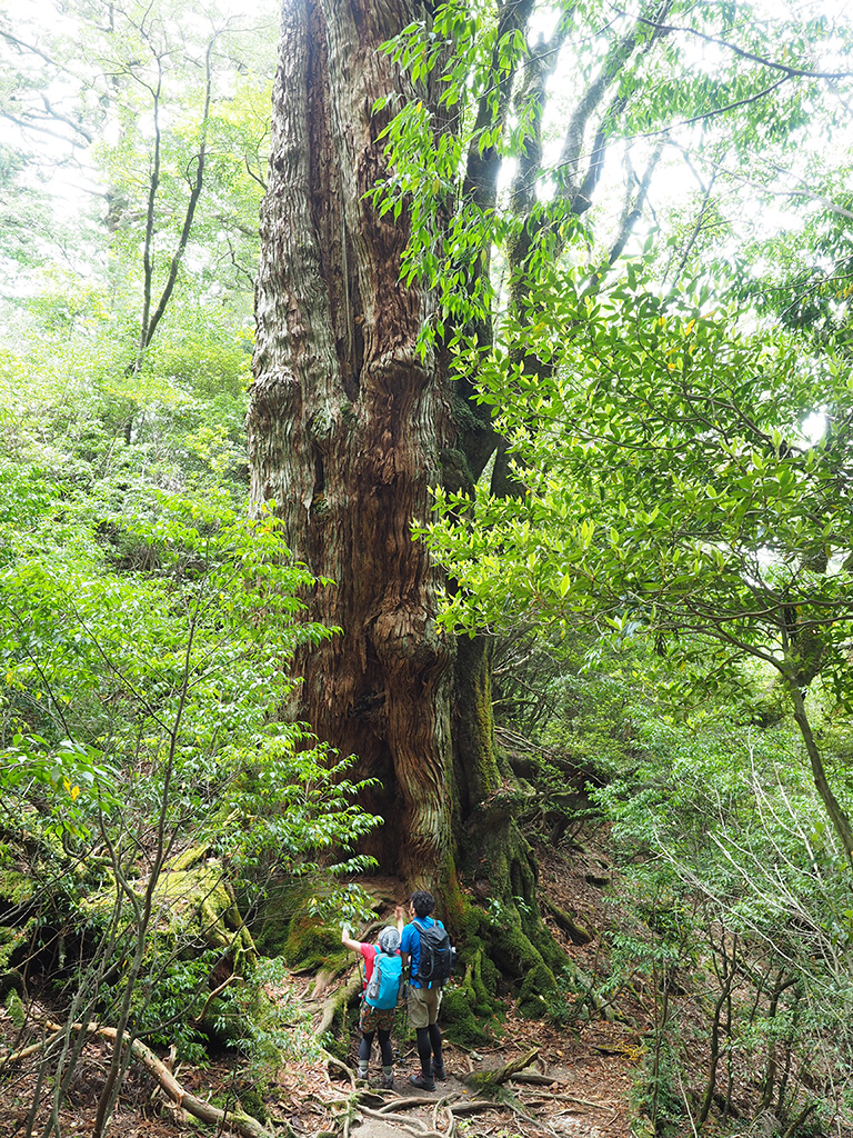 大和杉を二人で見上げている写真(遠景)
