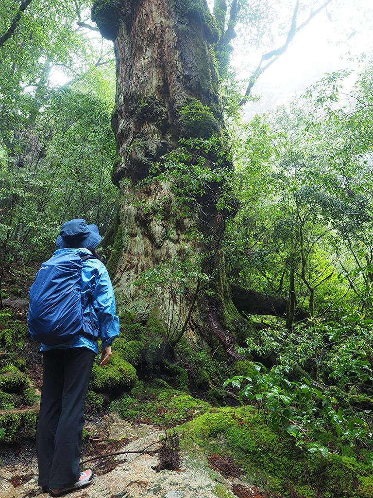 釈迦杉を見つめる参加者の後ろ姿写真