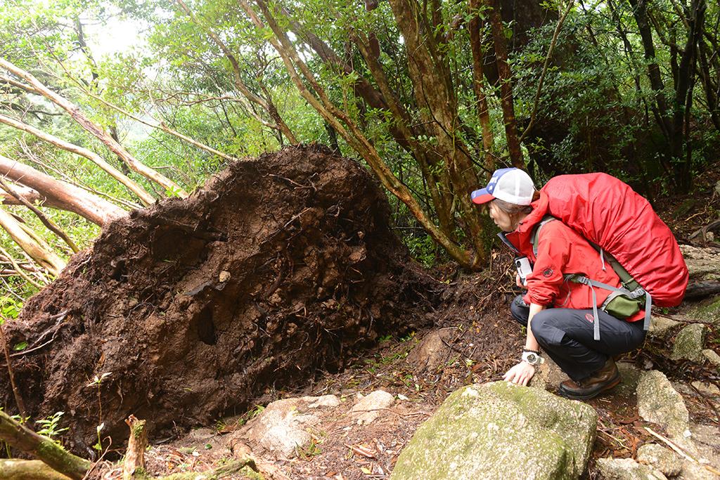 台風で根元からなぎ倒されたのだろうか?そんな倒木を眺めるMさんの写真