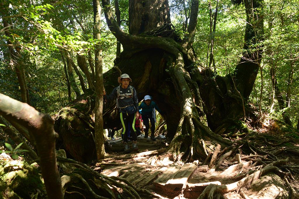 二股に根をはったくぐり杉をくぐり抜ける参加者達の写真