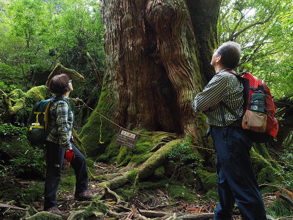 大和杉をマジマジと見るご夫妻の写真