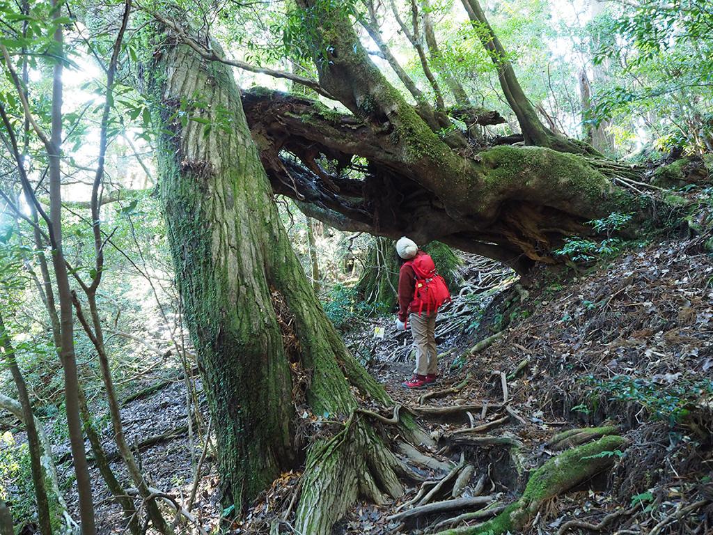 倒れ込む巨木を、ハリギリの巨木が支えていて、その下を歩いて行く参加者の写真