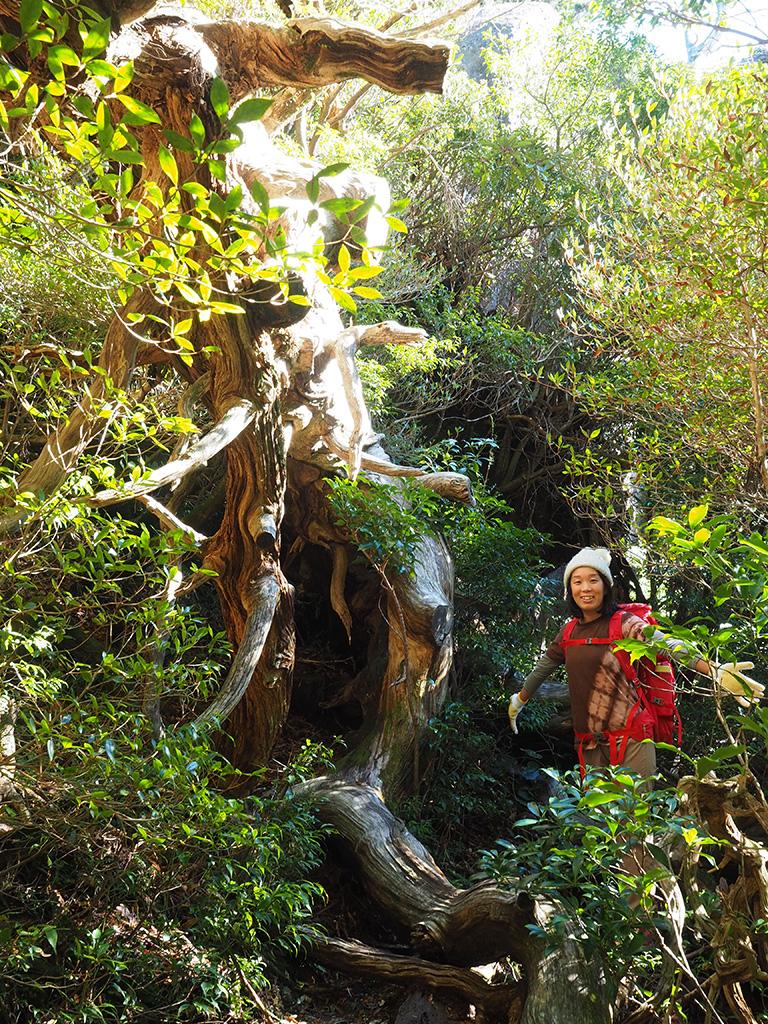巨大なヒノキの倒木を横に大きく手を広げる参加者の写真