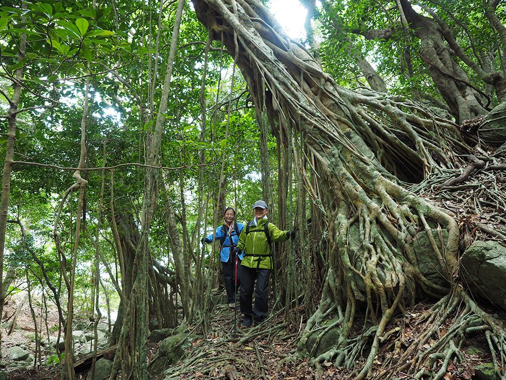 西部林道にたくさんあるガジュマルからたくさん垂れ下がる気根をくぐり抜けるエコツアー参加者2人の写真