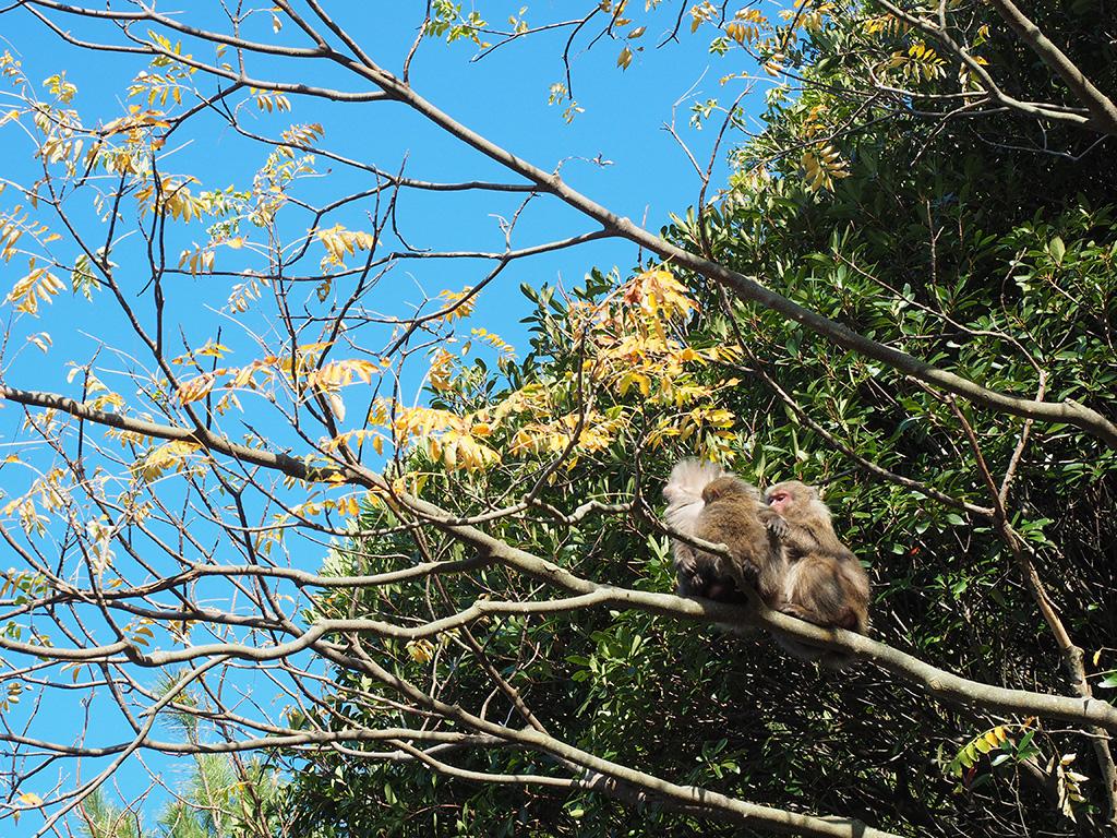 陽光を浴びて気持ち良さそうに木の上で毛繕いしあうヤクザル3匹