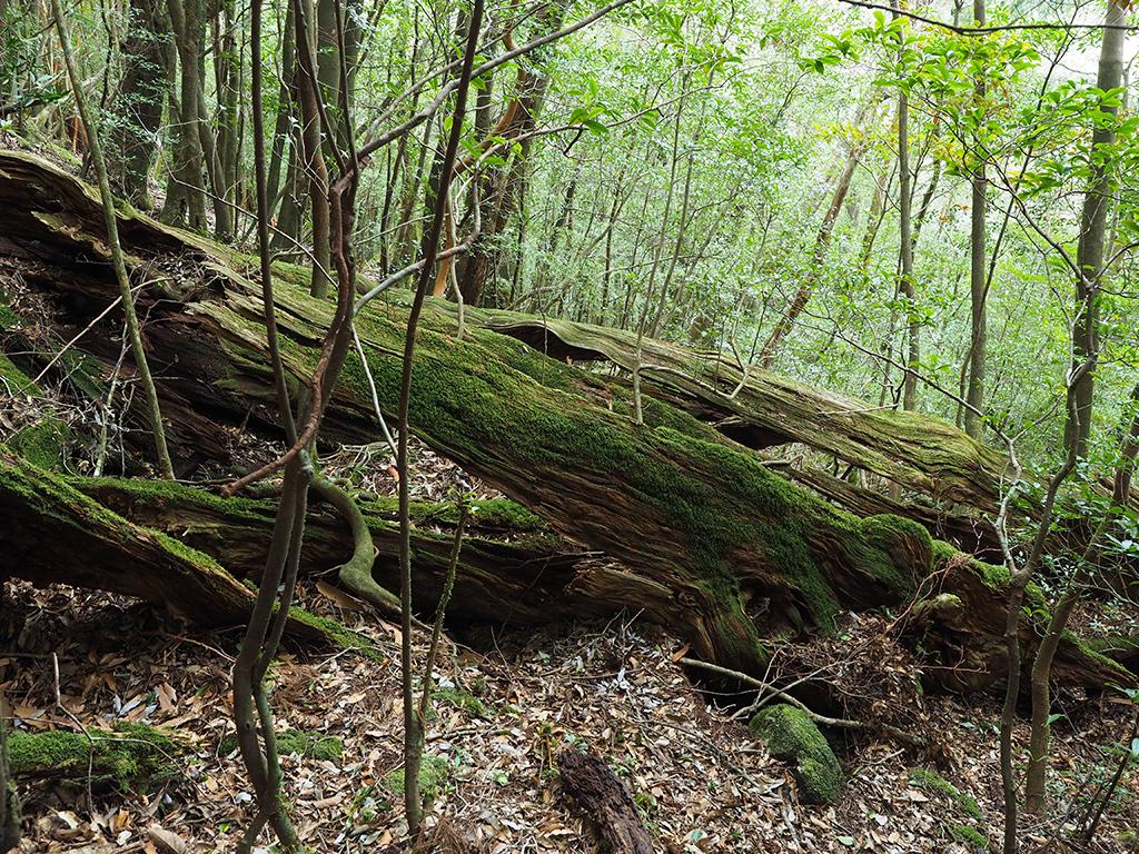 ねじれるような幹肌をした倒木の写真