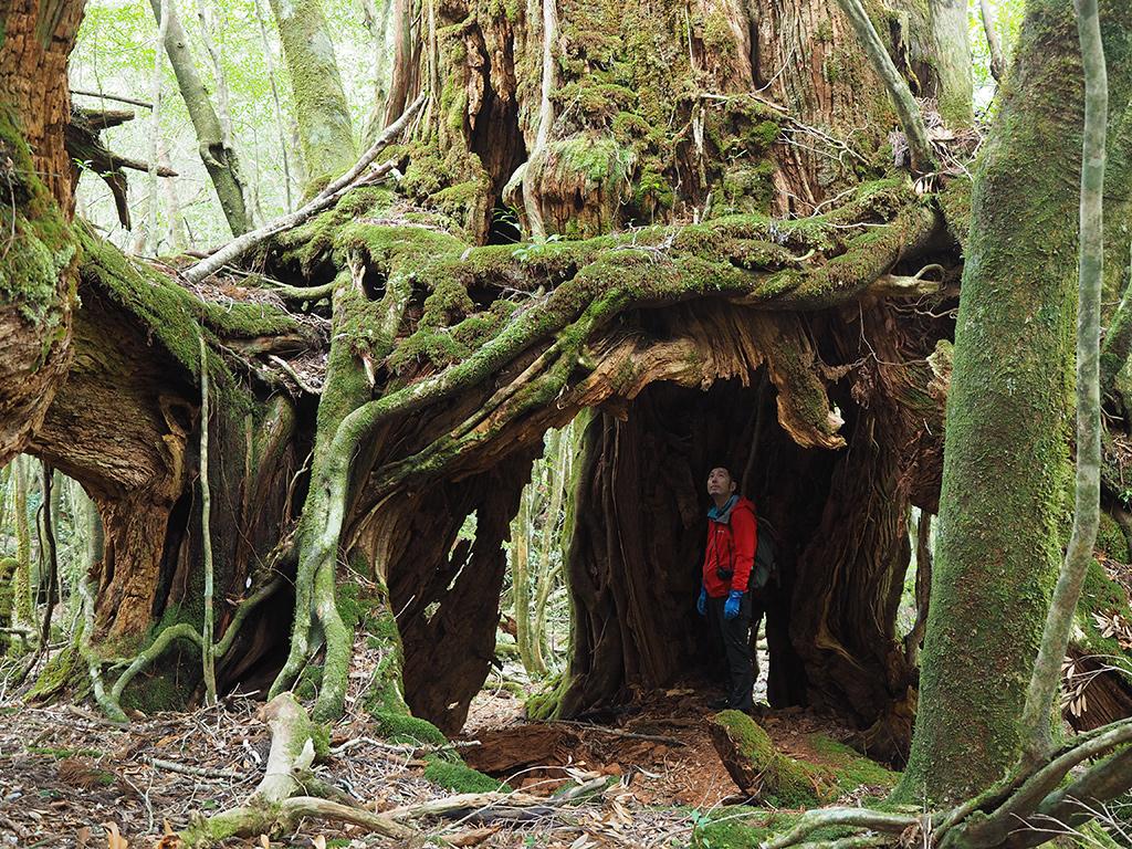 根上がり杉と呼ばれる家族5人くらいがちゃぶ台を囲んでごはんを食べれそうな空間がある屋久杉