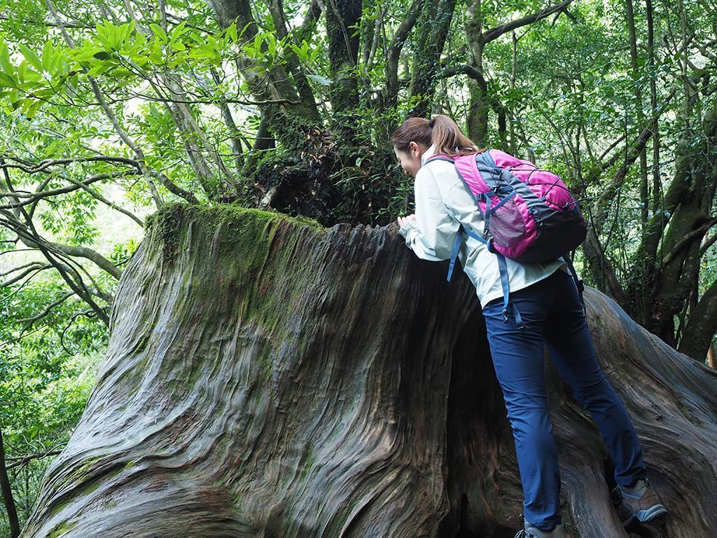 大きな杉の株をのぞき込むYさんの後ろ姿写真
