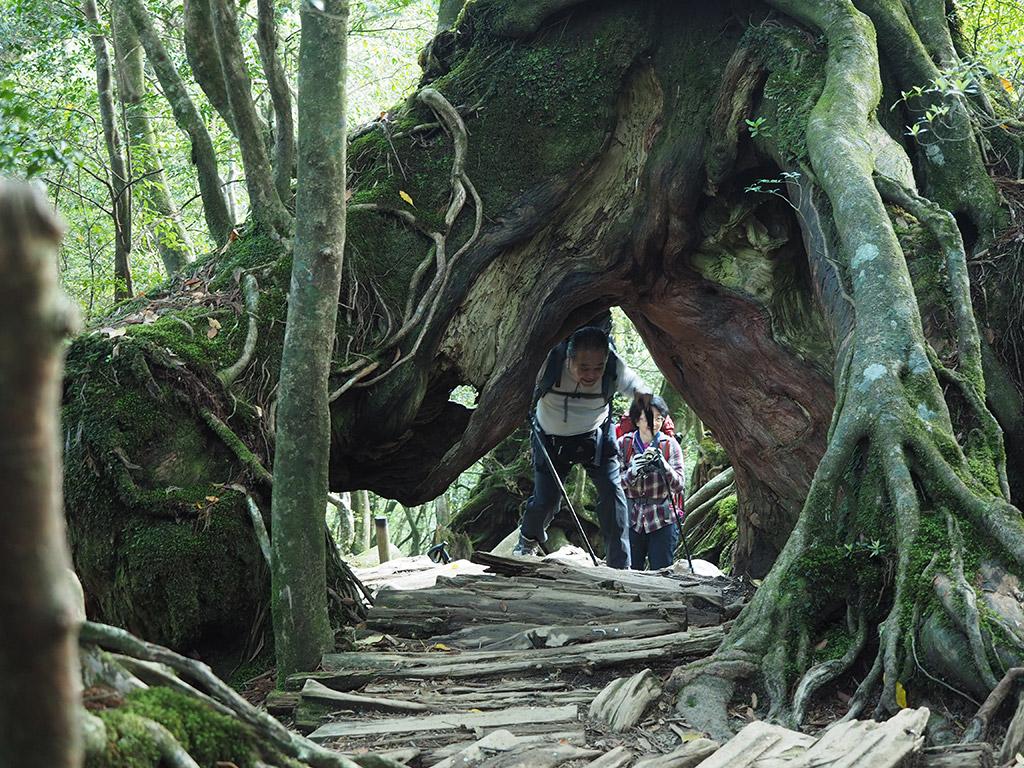 くぐり杉をくぐり抜けてくる参加者2人の写真