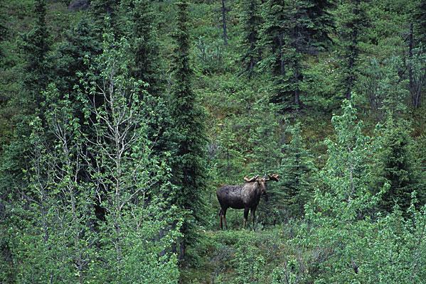 針葉樹の間から、大きな雄のムースがこちらをジッと見ている写真