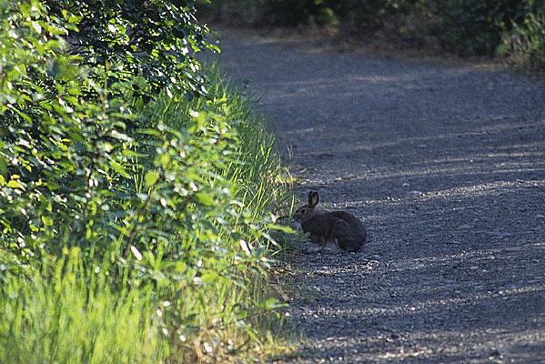 ひょっこりとテントサイトに現れたSnowshoe Hareが小路に佇んでいる写真