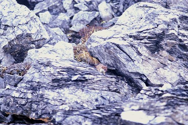 オコジョの仲間が礫の隙間からヒョッコリと姿を見せたのを収めた写真