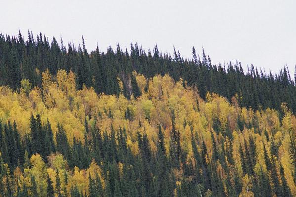 標高を下げると顔を見せてきた真っ黄色に黄葉した広葉樹と緑のままの針葉樹のミックス写真