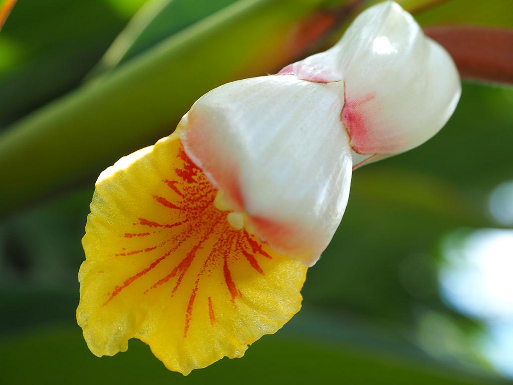 ゲットウの花の超アップ写真