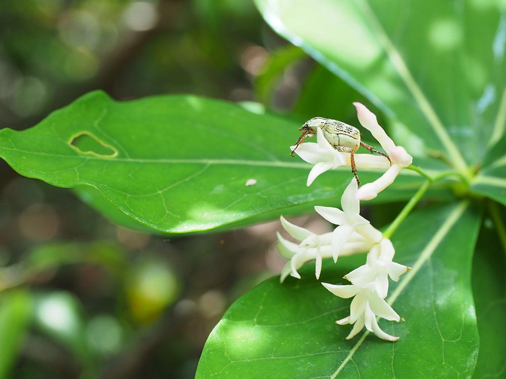 シャクナンガンピの花にとまるヒメアシナガコガネの写真