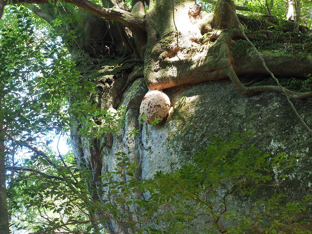 野生で見るキイロスズメバチの巨大な巣