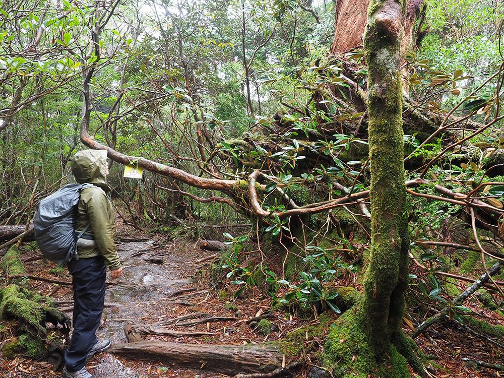 木に絡みつく根が台風によって引き剥がされてしまった光景を見るTさんの写真