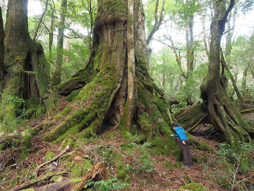 三穂野杉の裏側は苔むしていて、その苔の愛らしさをマジマジとのぞき込むリピーターのOさん
