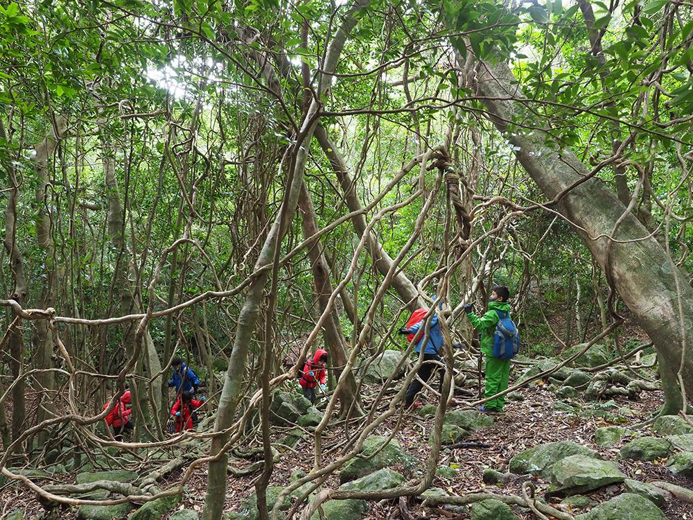 照葉樹林に広がるカズラ(ツル植物)群落の中で珍しそうにツルをいじり回す6人