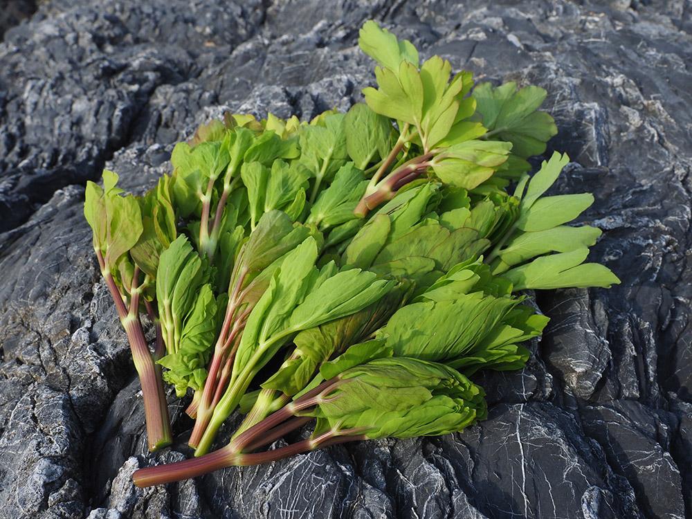 ボタンボウフウ(長命草)の芽を摘んだ写真
