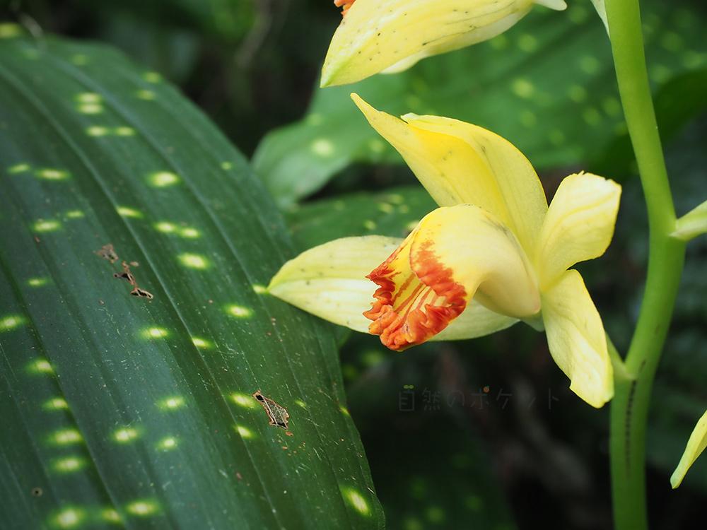 ホシケイラン葉と花のアップ写真